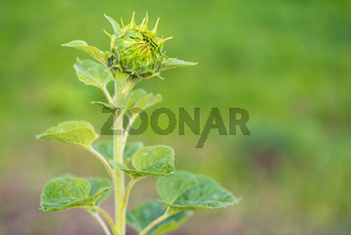 Young non unfolded sunflower on the field, maturation