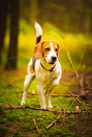 The beagle dog in sunny autumn forest. Alerted hound searching for scent and listening to the woods sounds.