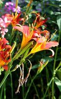 Lily, blossom