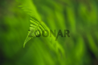 Green fern leaf detail on soft background. Forest plant Dryopteris filix-mas macro view. Selective focus.
