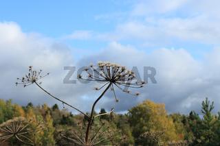 giant  hogweed autumn