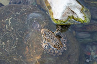 Columbia Spotted Frog, Rana luteiventris