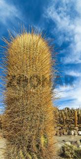 Close-up view of a giant cacti at at Isla Incahuasi in Salar de Uyuni