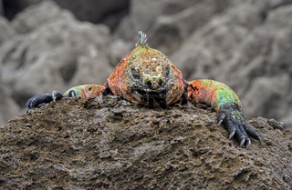 Meerechse Amblyrhynchus cristatus venustissimus,Insel Floreana, Galapagos,Ecuador