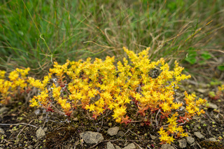 Sedum acre blossom in nature. Close-up.