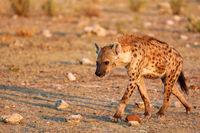 spotted hyena, Etosha National Park, Namibia, (Crocuta crocuta)