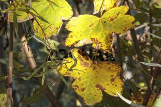 Herbstlaub, Nahaufnahme
