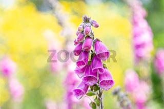 closeup purple flowers of digitalis in sunday.