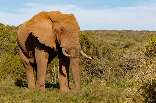 Elephant walking proudly through the bushes