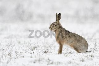 leise rieselt der Schnee... Feldhase * Lepus europaeus * sitzt im Winter auf einer Wiese