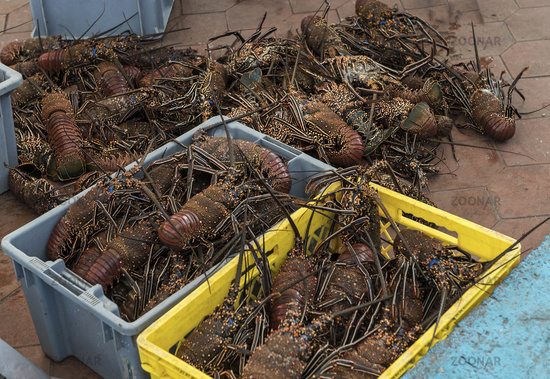 Fresh Lobster catch at fish market in Puerto Ayora, Santa Cruz Island, Galapagos Islands, Ecuador