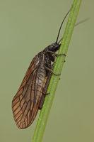 Sludge fly during egg deposition