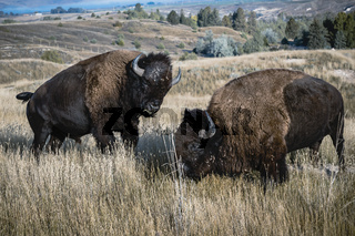 Two bison engaged in a struggle.