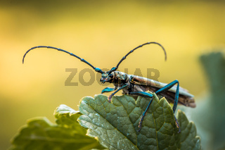 Musk beetle Aromia moschata close-up, Eurasian species of longhorn beetle, climbing on a plant in its natural habitat In summer.