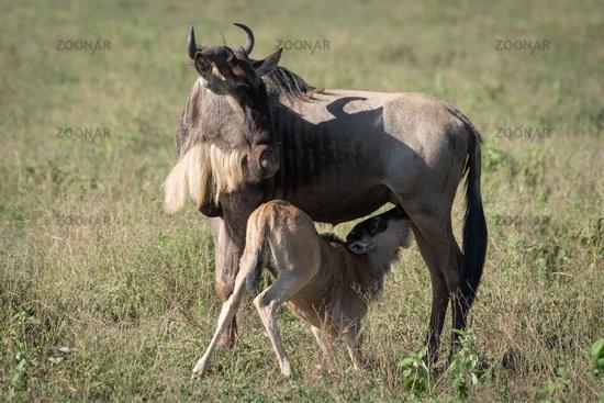 Blue wildebeest nurses calf in long grass