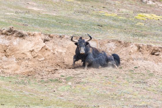 wild yak in qinghai