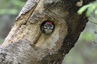 Great Spotted Woodpecker * Dendrocopos major *  chick, watching out of nest hole
