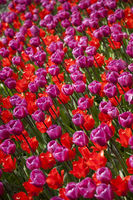 Tulips in spring,colourful tulip