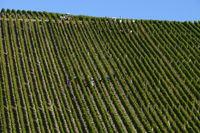 Vineyard Escherndorf, Volkach, Franconia, Bavaria