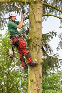 European arborist climbing in fir tree