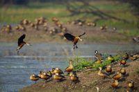 Lesser whistling ducks landing, Dendrocygna javanica, Bharatpur, Rajasthan, India