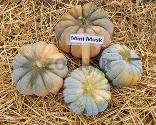 Mini Musk, Kuerbis, Speisekuerbis