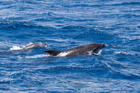 Two Bottle-nosed Dolphins swimming in Ocean near Sao Miguel, Azores