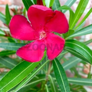 Rote Oleanderblüte