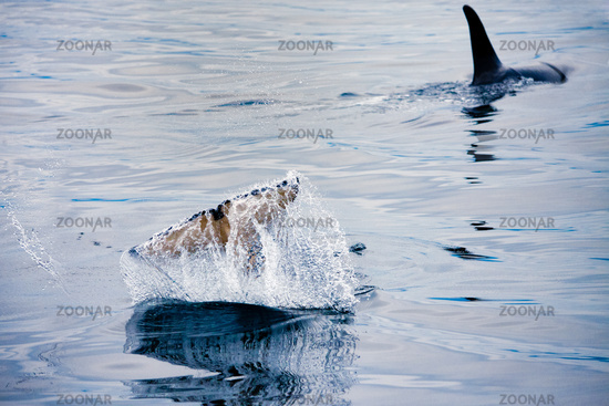 Orcas swimming and playing in the Johnstone Strait in British Columbia