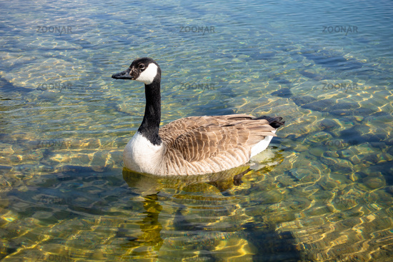 canadian goose at Tutzing Starnberg lake Germany