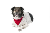 Mixed Breed dog in holiday Christmas Attire laying down isolated on white