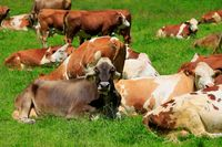 Cattle on the mountain pasture
