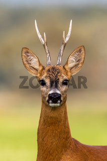 Portrait of a roe deer, capreolus capreolus, buck in summer.