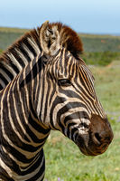 Close up of a Zebra standing and staring