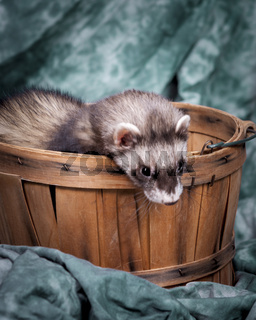 Ferret looing out from basket.