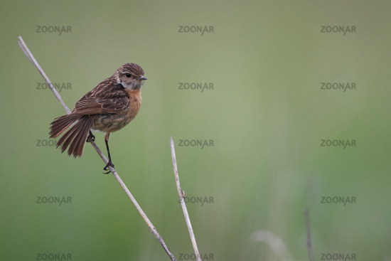 European stonechat from Hungary