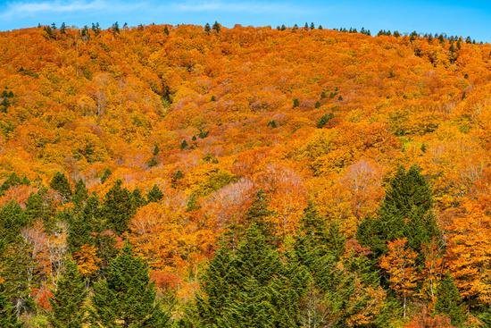 Colorful foliage of autumn on the Hakkoda Mountain