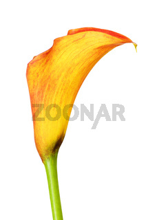 Orange Calla Lily Flower