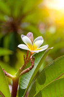 white and yellow frangipani flower