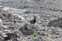A male walia ibex