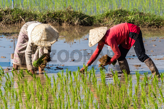 Local villagers working in a rice field in the Champasak valley, Laos