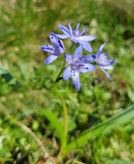 Zweiblaettriger, Blaustern, Scilla, bifolia