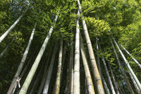 Avenue with fresh green bamboo