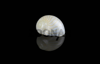 Moon Shell on black background, Dubai, UAE