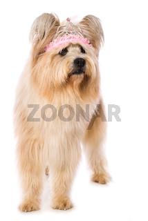Adult elo dog on white background