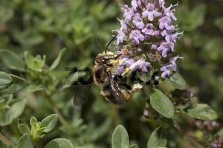 Wollbiene, Anthidium manicatum, European wool carder bee