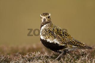 Close up of an European Golden plover