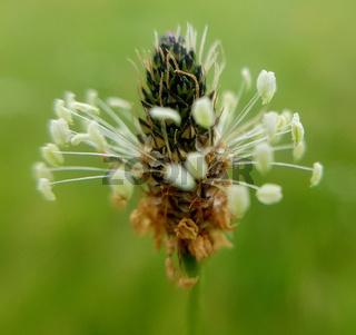 Spitzwegerich, Plantago, lanceolata