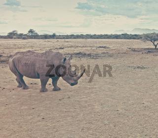 black rhino in natural habitat in Namibia