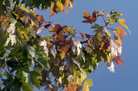 Autumn leaves of the mountain Ahorn
